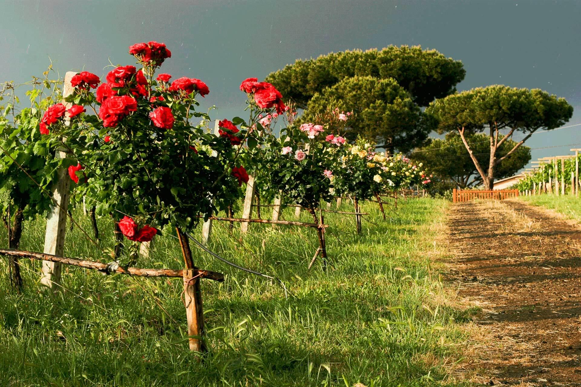 Primavera-3-olivella>