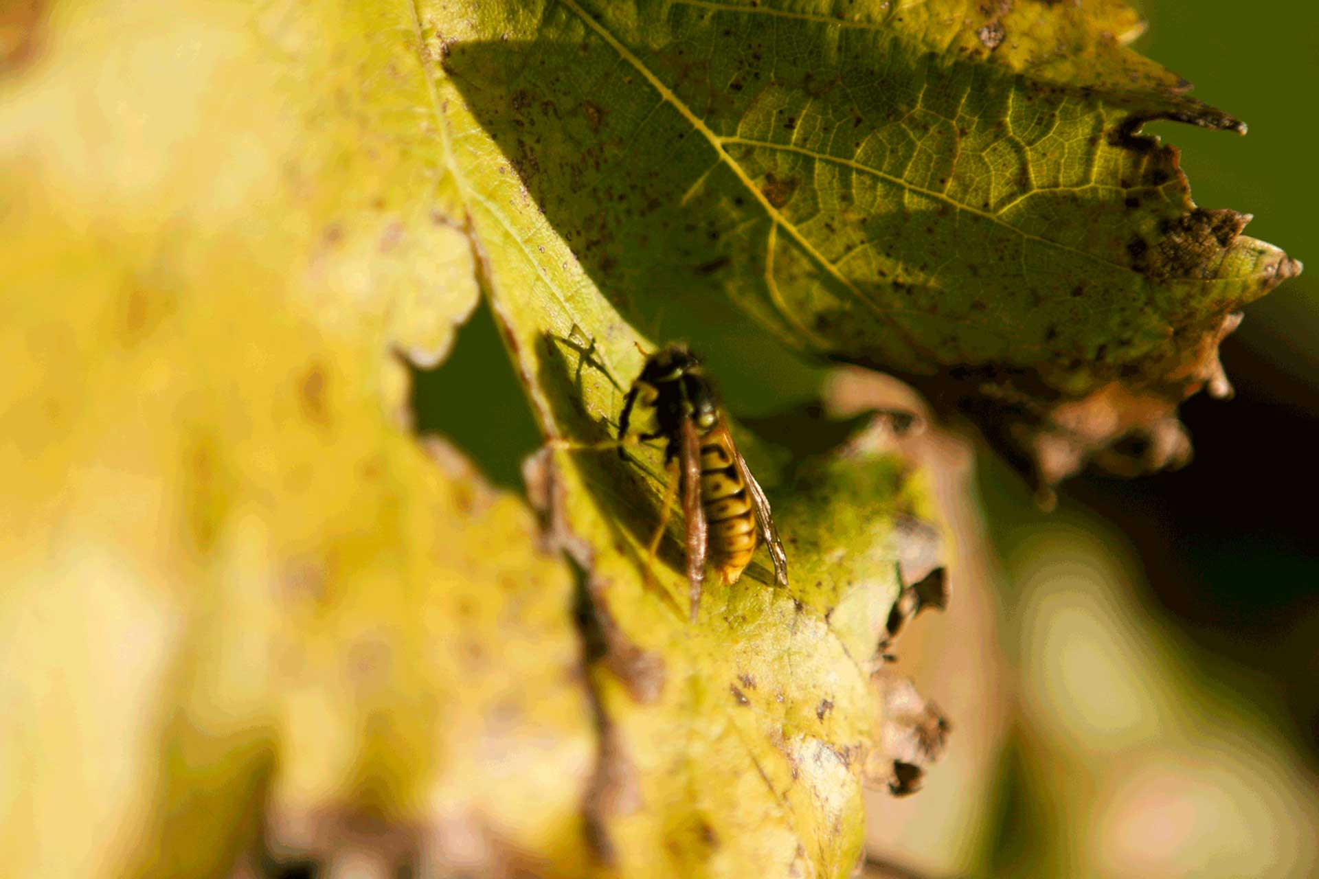 autunno-foglia-ape>